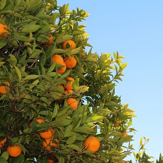 Tree with ripe mandarins
